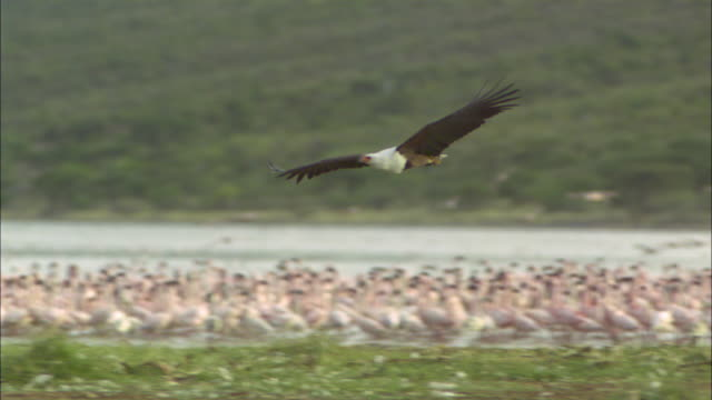 SLOMO PAN with African Fish Eagle flying over Lesser Flamingo flock
