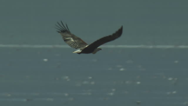 slomo pan with african fish eagle flying through steam over lake bogoria - african fish eagle stock videos & royalty-free footage