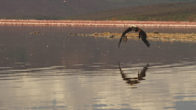 PAN with African Fish Eagle flying towards camera low over lake with flamingoes in background