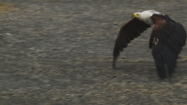 PAN with African Fish Eagle flying towards camera low over lakeside with flamingoes in background