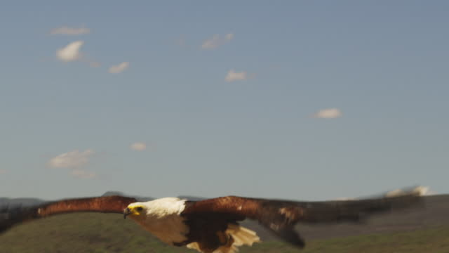 MS PAN with African Fish Eagle flying very close to camera low over lake with flamingoes in background