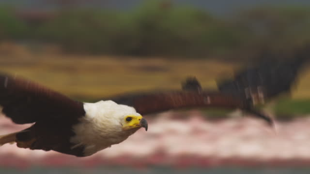 CU PAN with African Fish Eagle flying very close to camera with flamingoes out of focus in background