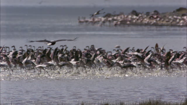 slomo pan with african fish eagle gliding and frightening lesser flamingo flock in background - african fish eagle stock videos & royalty-free footage