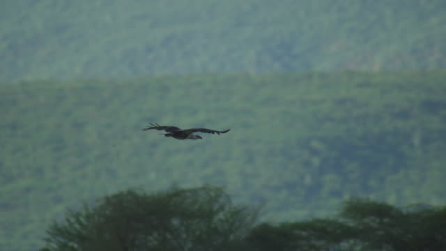 PAN with African Fish Eagle gliding in to carcase attacked by second eagle already in place