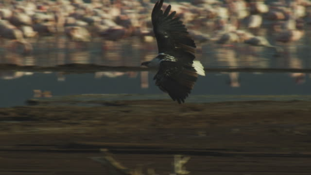 slomo ms pan with african fish eagle gliding in to land on shore with massed flamingoes in background  - african fish eagle stock videos & royalty-free footage