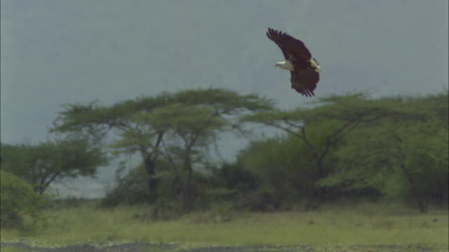 slomo pan with african fish eagle gliding over lake - african fish eagle stock videos & royalty-free footage