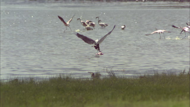 vidéos et rushes de slomo pan with african fish eagle gliding to strike at flamingo carcase - se nourrir des restes
