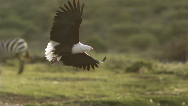 SLOMO PAN with African Fish Eagle landing on rock with Zebra in background