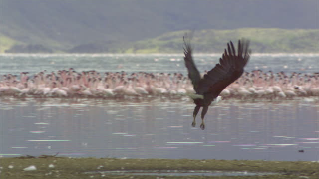 slomo pan with african fish eagle taking off and flying with lesser flamingo flock in background - african fish eagle stock videos & royalty-free footage