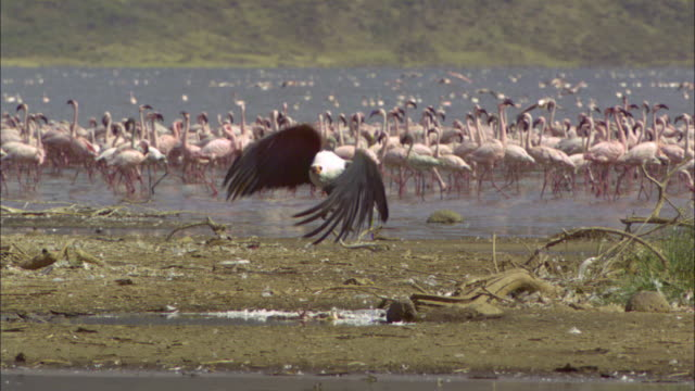 SLOMO PAN with African Fish Eagle taking off and flying with Lesser Flamingo flock in background