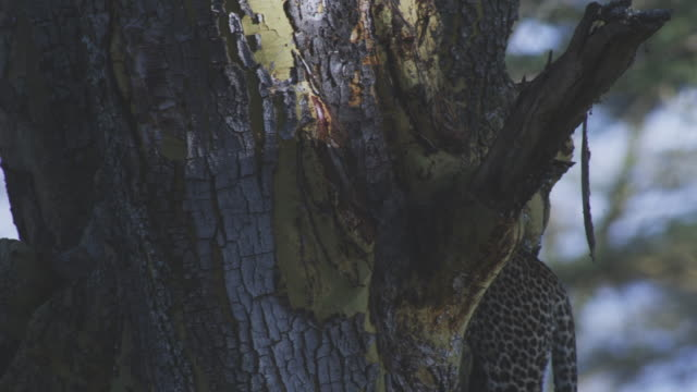 ms tu with african leopard as it jumps up into huge tree and settles on branch - tiere bei der jagd stock-videos und b-roll-filmmaterial