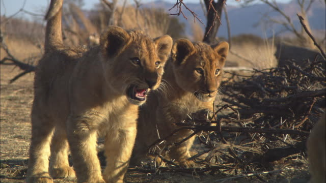 MS PAN with African lion cub joins second cub and they snarl at lioness in foreground