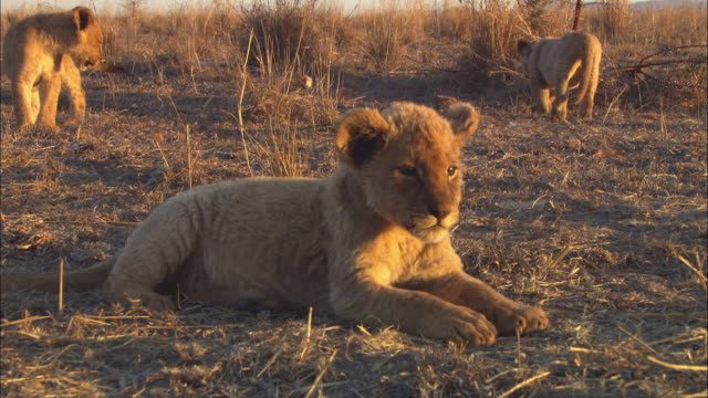 ms pan with african lion cub lying then walking through long grass in evening light - lion cub stock videos & royalty-free footage