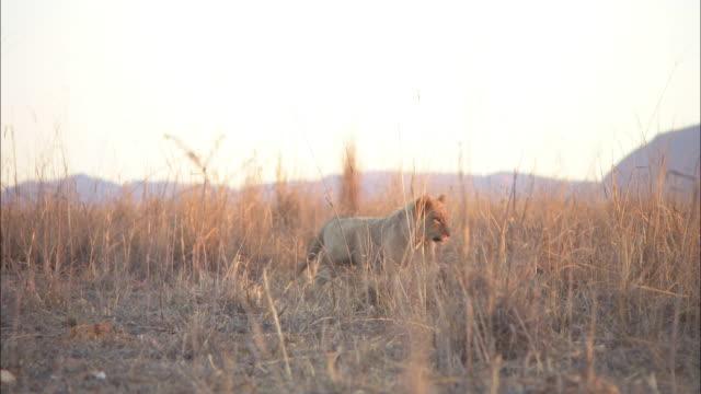 vídeos de stock, filmes e b-roll de pan with african lion cub stalking then attacked by second cub in evening light - espreitando