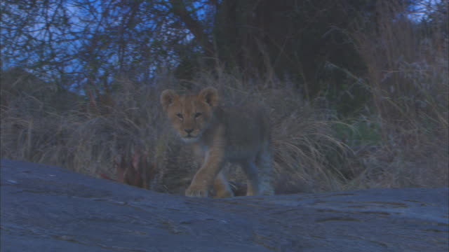 ms pan with african lion cub walking across rock outcrop zo to ws - outcrop stock videos & royalty-free footage