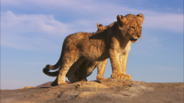 ms pan with african lion cubs walking across rock and playing together - lion cub stock videos & royalty-free footage