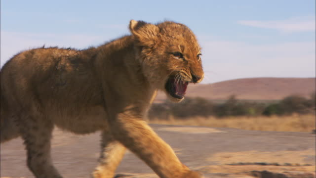 cu pan with african lion cubs walking up to lioness to shelter - lion cub stock videos & royalty-free footage