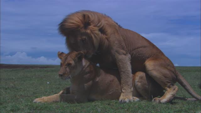 videos-of-lions-having-sex