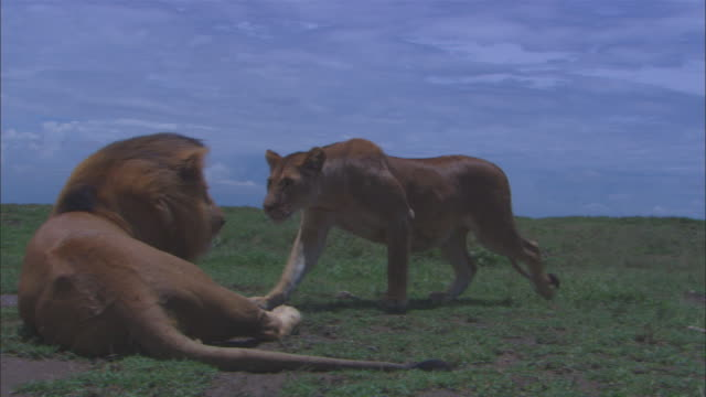 vidéos et rushes de pan with african lioness as she comes up to male and provokes him to mate then zi to cu heads and pan with lioness as she walks away  - accouplement lion