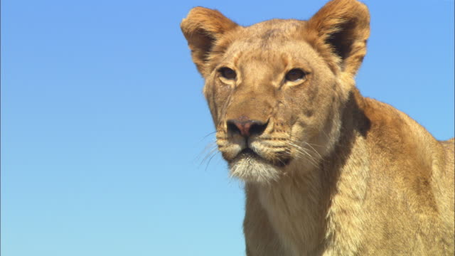 LA CU PAN with African lioness looking out intently and walking sideways
