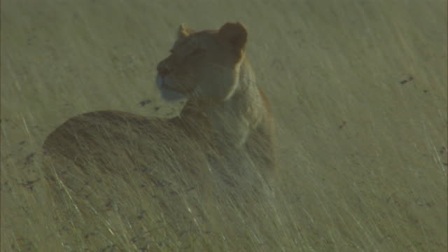 cu pan with african lioness stalking in long grass and looking around for prey - ambush stock videos and b-roll footage