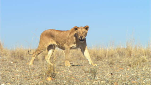 PAN with African lioness walking across dry grassland