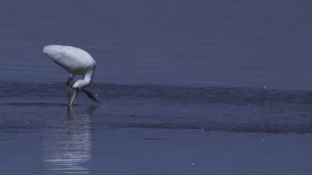 PAN with African Spoonbill sweeping through water joined by second bird