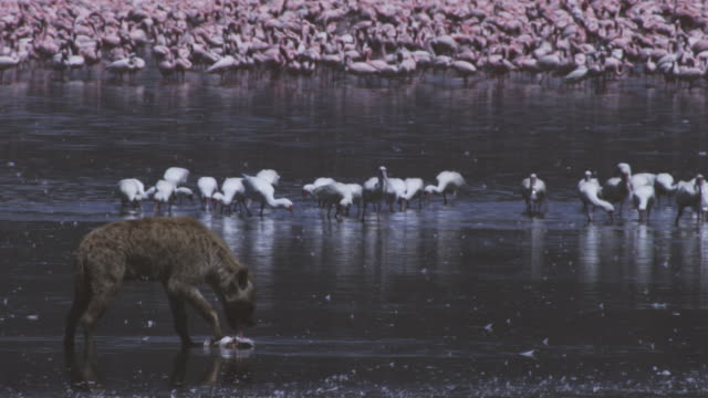 PAN with African Spoonbills feeding with Flamingoes in background then reveal Hyena eating Flamingo in foreground