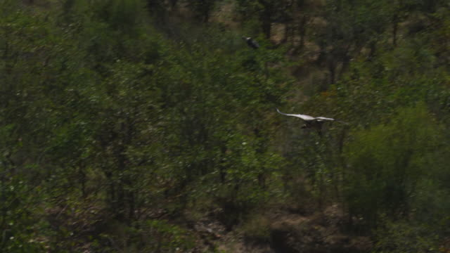 slo mo ha pan with african vulture flying in over elephants to land by carcase - elephant stock videos & royalty-free footage