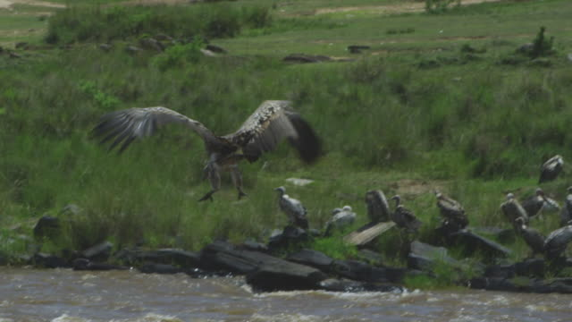 SLOMO TD with African vulture landing vertically with group on Wildebeest carcase in river
