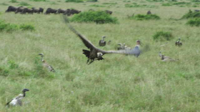 slomo pan with african vulture taking off from carcase in long grass  - vulture stock videos & royalty-free footage
