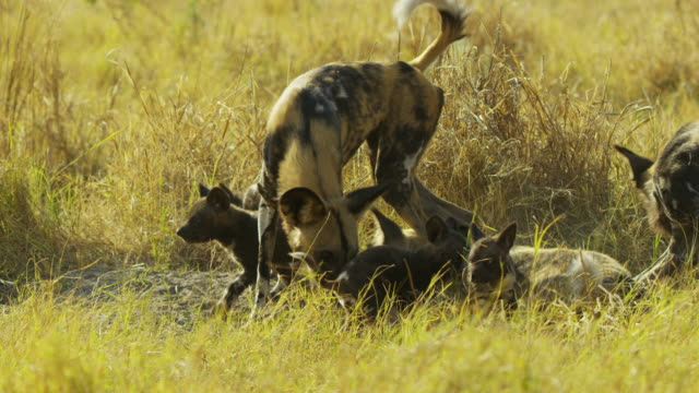 pan with african wild dog moving between groups of pups near den - medium group of animals stock videos & royalty-free footage