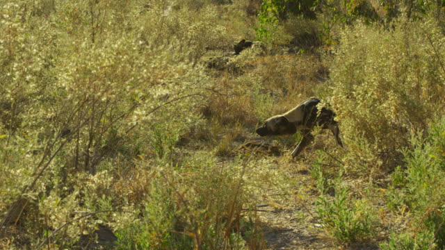 vídeos y material grabado en eventos de stock de ms pan with african wild dog stalking then running in long vegetation - forrajear