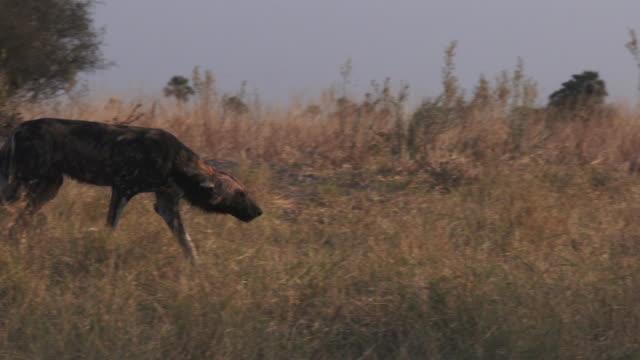 pan with african wild dog stalking up to pups at den - kleine gruppe von tieren stock-videos und b-roll-filmmaterial