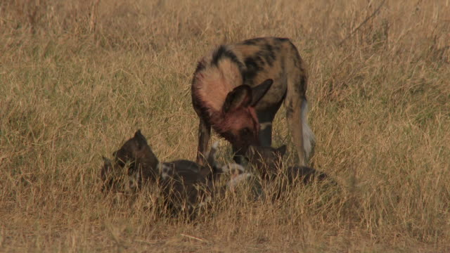 ms pan with african wild dog with bloody fur being pestered by pups - medium group of animals stock videos & royalty-free footage