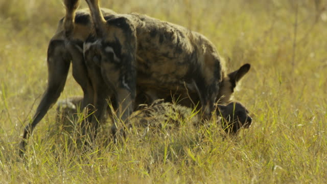 pan with african wild dogs trotting and greeting pups - medium group of animals stock videos & royalty-free footage