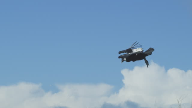 pan with andean condor as it takes off from close to camera and soars along grassy cliffside - 鳥点の映像素材/bロール