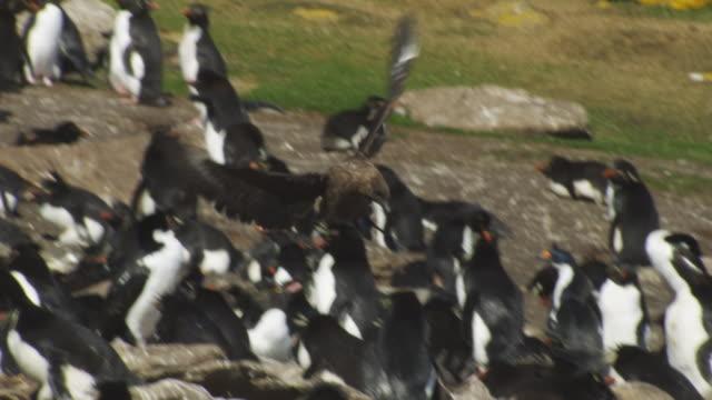stockvideo's en b-roll-footage met pan with antarctic skua as it lands in rockhopper penguin colony and flies off - atlantische eilanden