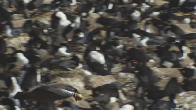 pan with antarctic skua flying low over rockhopper penguin colony with a penguin egg in its beak - flock of sheep stock videos & royalty-free footage