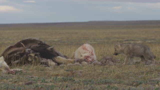 pan with arctic wolf cubs nervously approaching body of musk ox and resting wolves - medium group of animals stock videos & royalty-free footage