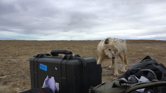 ms pan with arctic wolf sniffing at camping gear then moving away - exploration stock videos & royalty-free footage