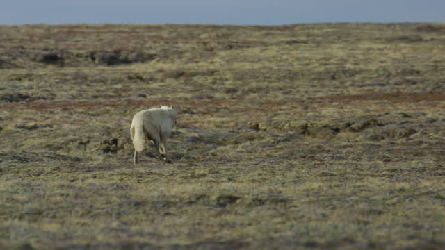 vídeos y material grabado en eventos de stock de pan with arctic wolf trotting to greet second wolf with cubs at den - small group of animals