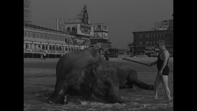 with atlantic city's boardwalk at rear, four people lead two elephants into water, where they watch as the animals roll in the waves - four animals stock videos & royalty-free footage
