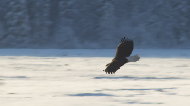 pan with bald eagle flying and gliding in circle over river into mist  - wildlife reserve stock videos & royalty-free footage