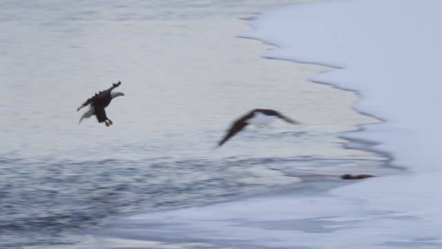 ws pan with bald eagle flying low over river and landing on snowy riverbank by magpies then calling as second eagle arrives - elster stock-videos und b-roll-filmmaterial