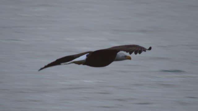 ms pan with bald eagle flying low over river - utfällda vingar bildbanksvideor och videomaterial från bakom kulisserna
