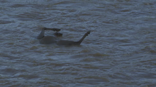 slomo ms pan with body of wildebeest floating down river - drowning stock videos and b-roll footage