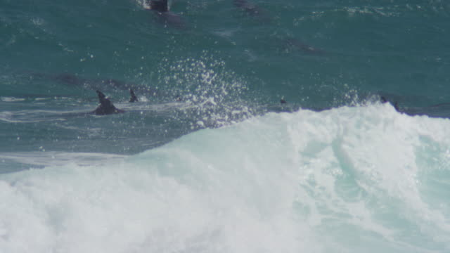 MS PAN with Bottlenosed Dolphin group with calf swimming through breaking waves