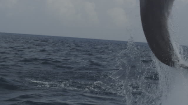 SLOMO TU with Bottlenosed Dolphin leaping from water in open sea
