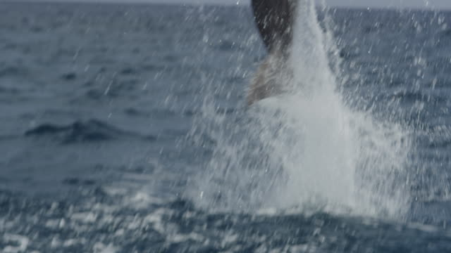 SLOMO CU TU with Bottlenosed Dolphin leaping from water in open sea